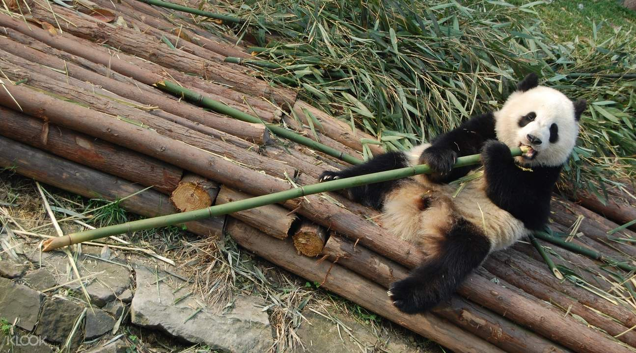 成都大熊猫繁育研究基地 & 人民公园一日游